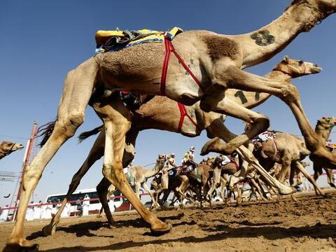 Tal es la pasión de los saudíes por los camellos, que gast...