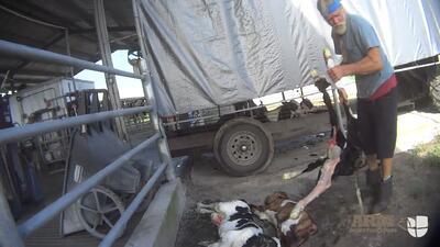 Nuevo video muestra cómo patean, lanzan al aire y golpean a los terneros en una de las granjas lecheras más grandes de Florida