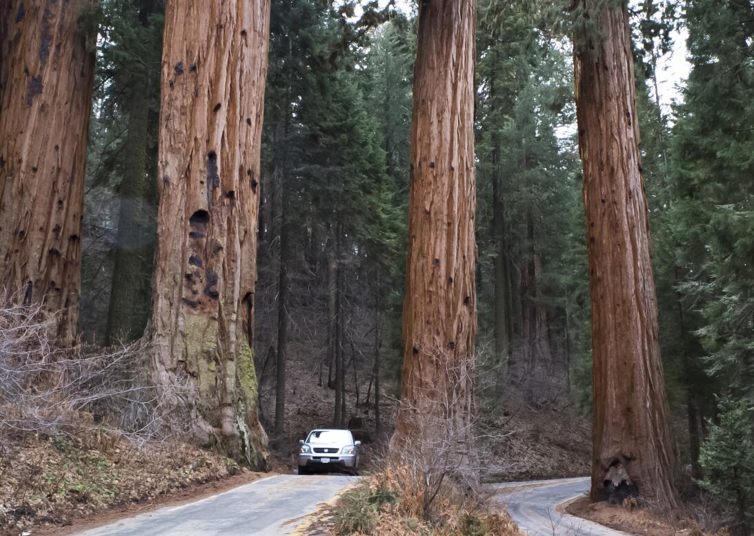 Giant Sequoia (California)