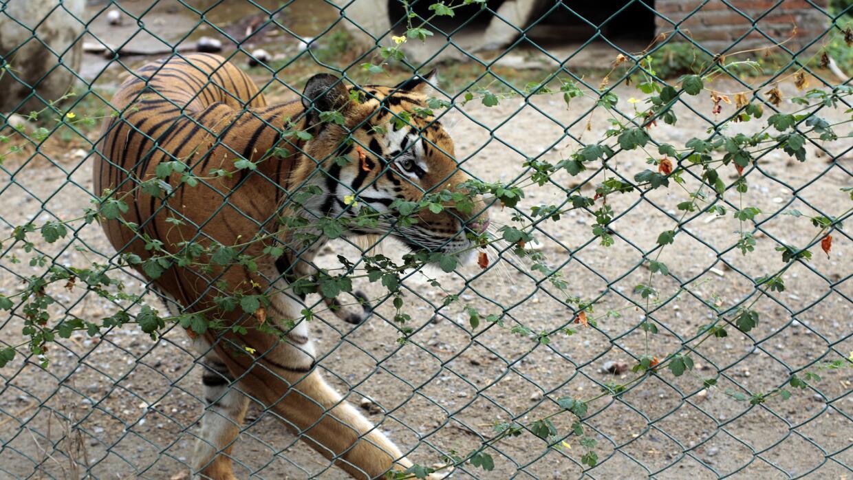 La policía busca al tigre Ankor.