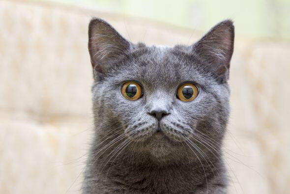Estos gatos ingleses requieren atención y harán de todo por conseguirla....