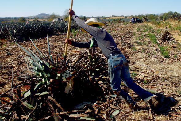 El proceso del mezcal comienza cuando se jima o corta las pencas de agav...