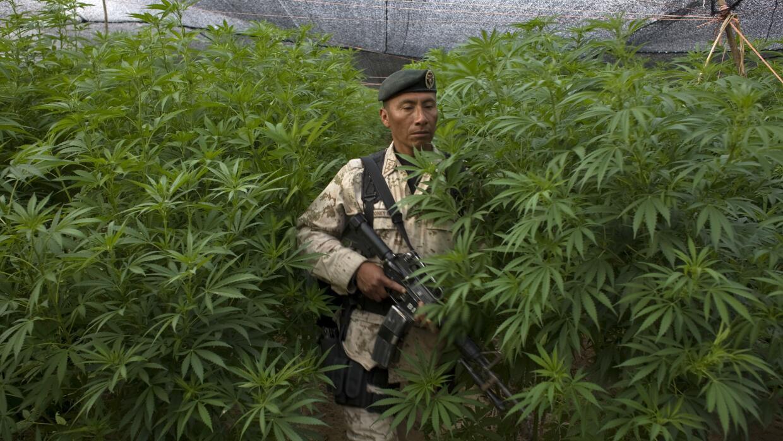 Legalizar marihuana bajaría hasta 26% ingresos de cárteles mexicanos, se...
