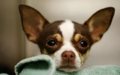 Incremento del virus de la influenza en perros tiene en alerta al estado...
