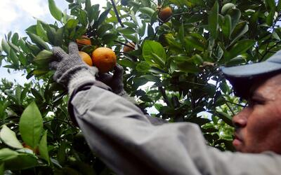 Un trabajador agrícola en Florida.