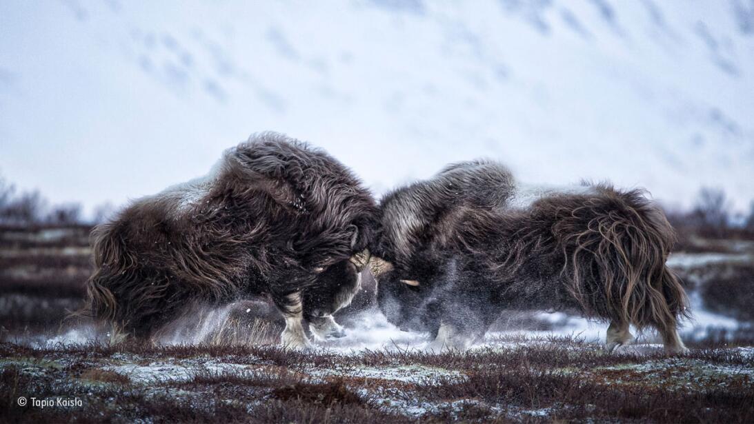 Las espectaculares imágenes de la vida salvaje 2016 © Tapio Kaisla_Wildl...