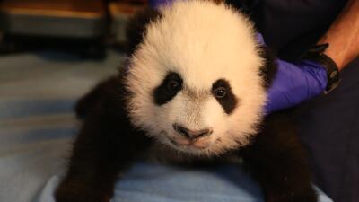¿Cuánto cuesta un oso panda? 23169123223_2b551ebaf2_o%20(1).jpg