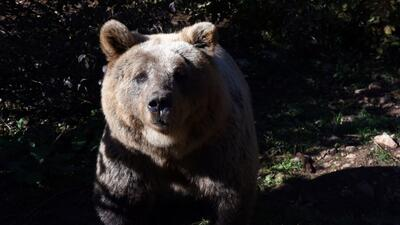 Así es el hogar de osos pardos huérfanos o heridos en Croacia