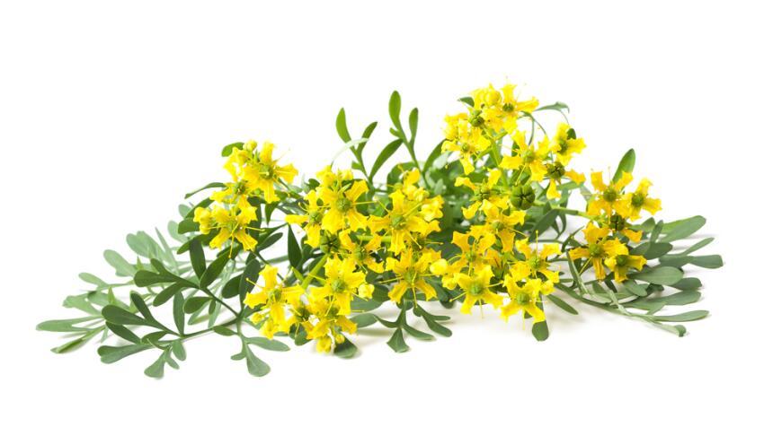 flores y hojas de ruda