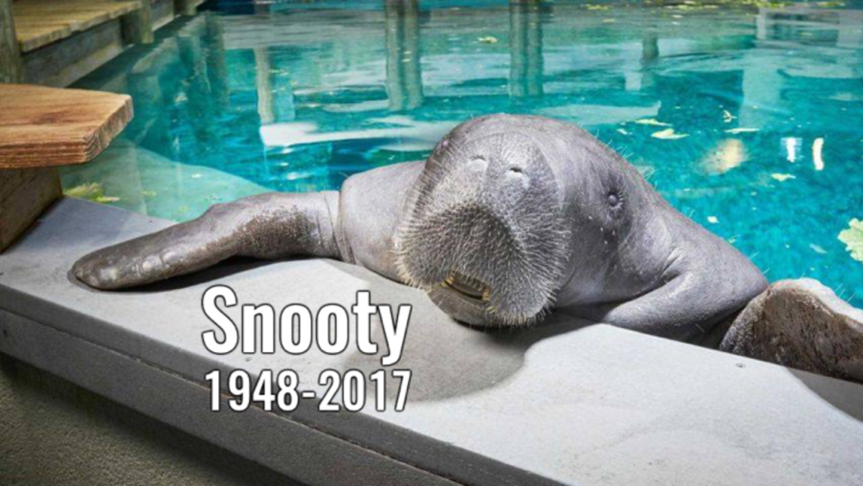 July 23. Snooty, a 69-year-old manatee, was found ...