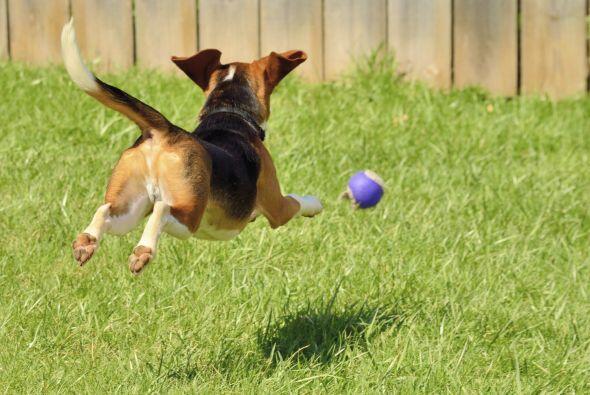 Los ejercicios mentales y físicos ayudan a tu perro a mantenerlo activo,...