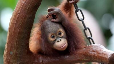 Conozca la escuela de Orangutanes huérfanos de Indonesia