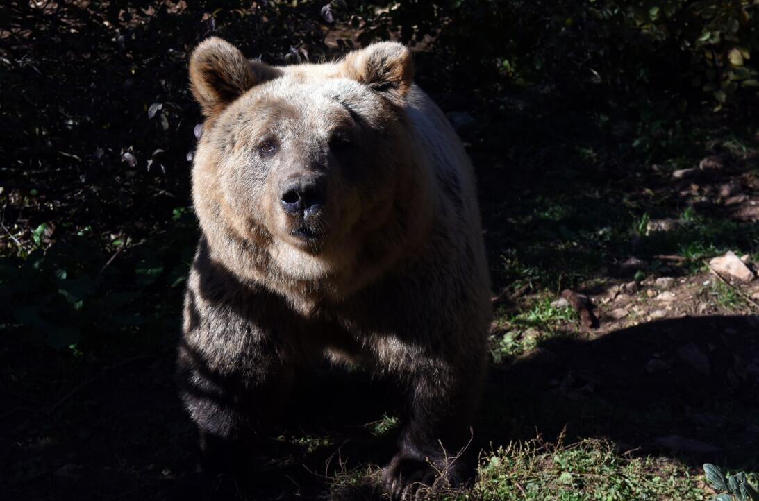 Así es el hogar de osos pardos huérfanos o heridos en Croacia  gettyimag...