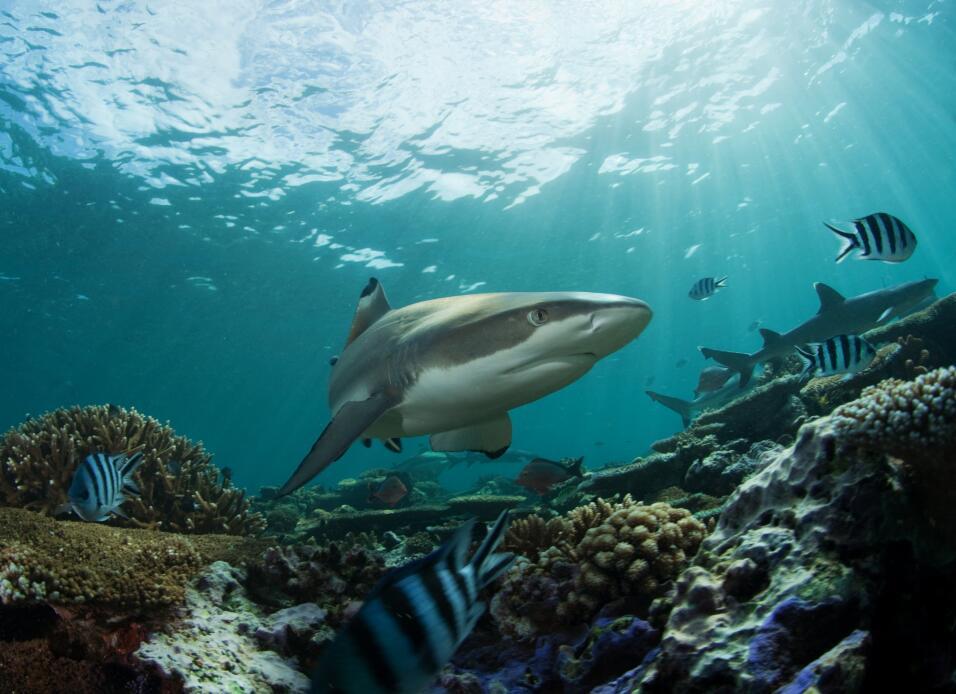 Arrojan carnada a tiburones para atraerlos a las playas del sur de Calif...