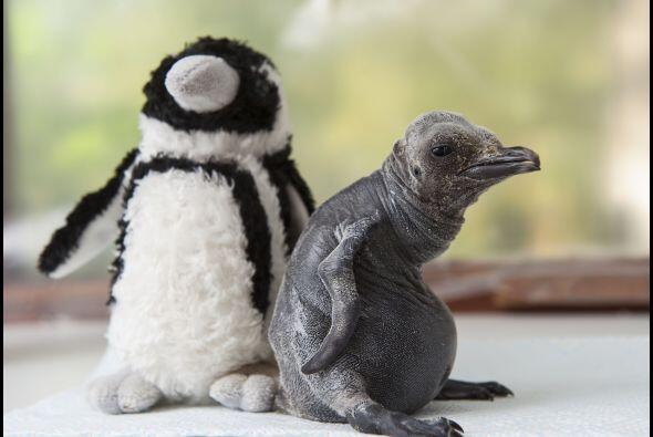 Sólo tiene que ser paciente para convertirse en un pingüino hermoso.
