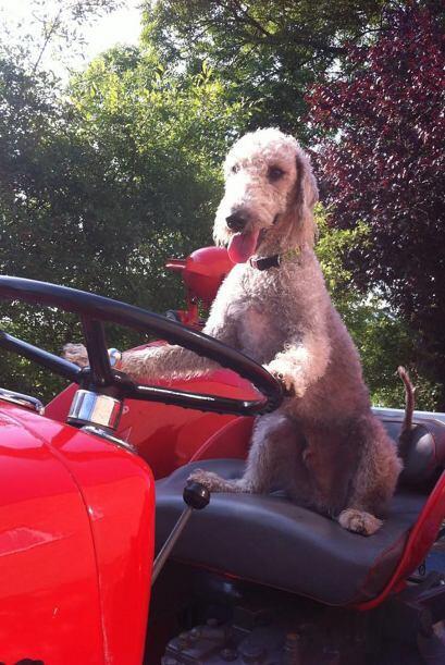 Este Bedlington terrier puede montar una bicicleta.