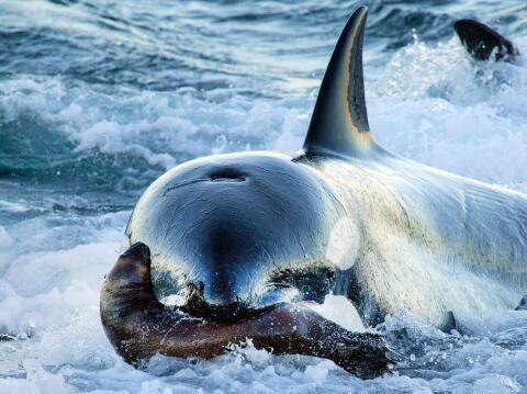 Promo Orca