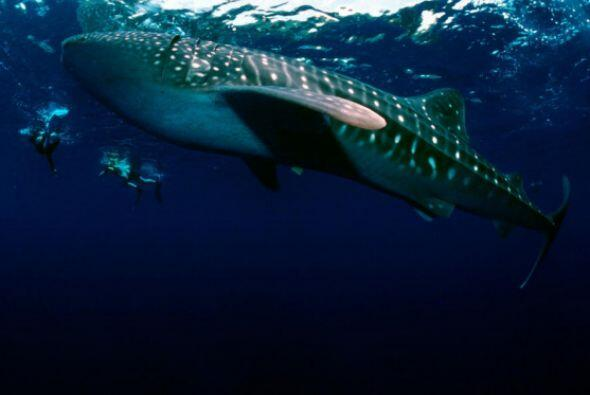 El tiburón ballena es el pez más grande del mundo con un promedio de 10...