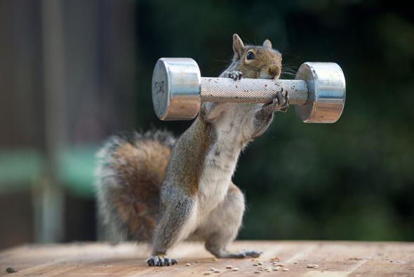 ¡Parece que esta ardilla está lista para ejercitarse y ser la más fuerte...