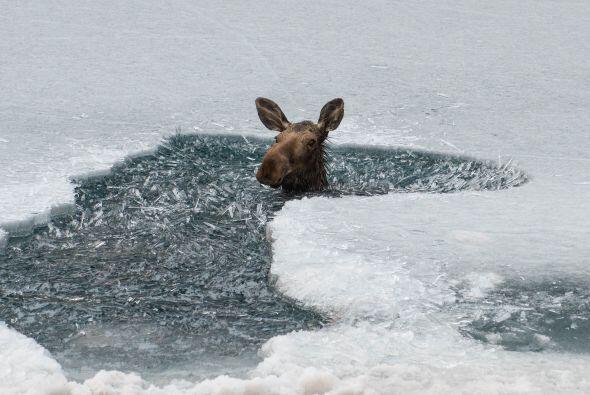 Un pobre alce cayó a la frías aguas del Lago Muncho, en Canada. En cuant...