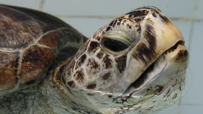En fotos: la tortuga marina verde a la que le extrajeron 915 monedas del estómago