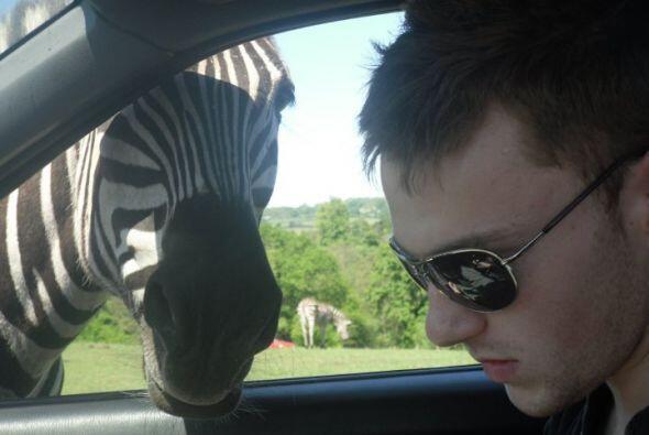 Esta cebra sabe reconocer y copiar las caras de las personas que visitan...
