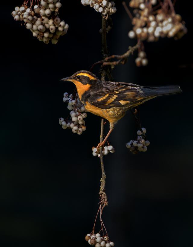En fotos: el amor y la guerra en el mundo de las aves Varied_Thrush_Heat...