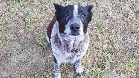 Max el perro blue heeler que ayudó en el rescate de una niña de 3 años e...