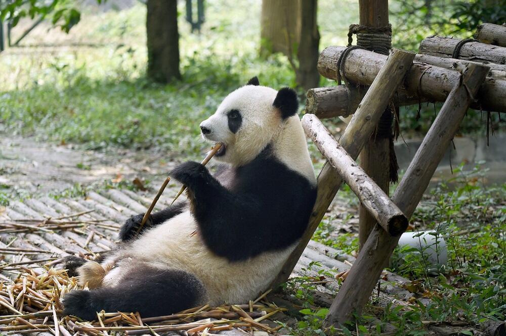 Los pandas abandonan la lista de animales en peligro de extinciónAún est...