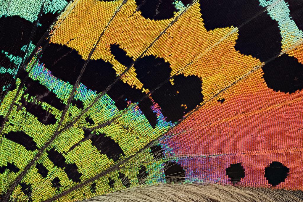 Las alas de mariposas como nunca antes las viste Ala de una polilla crep...