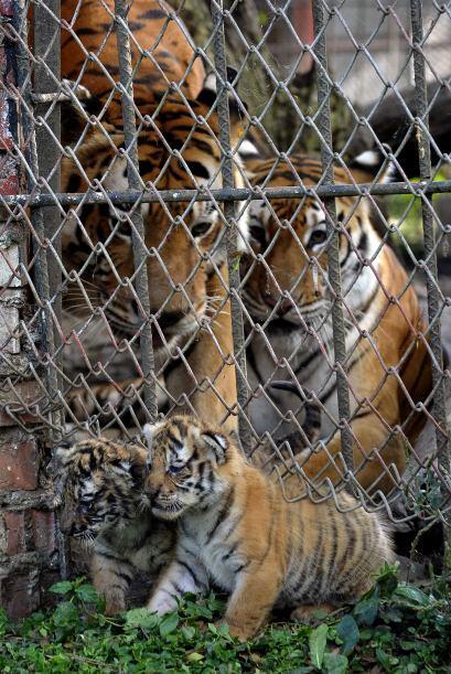Son originarios de  Bangladesh, la India y están en peligro de extinsión.