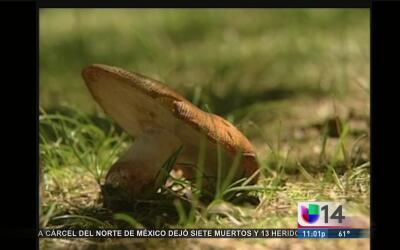 ¿Cómo identificar los hongos venenosos?