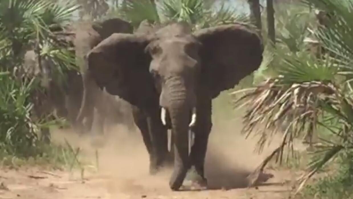 Elefantes persiguen a senador de Arizona en Mozambique elefante.jpg