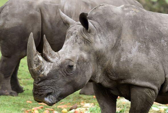 Molly es un tipo de rinoceronte blanco y tiene 53 años de edad, esta rin...