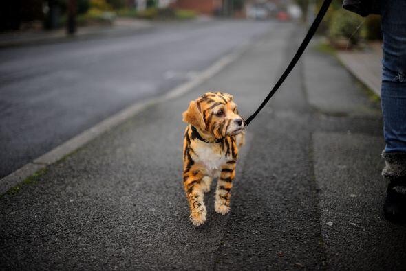 Para unos se ve increíble, pues parece un pequeño felino.