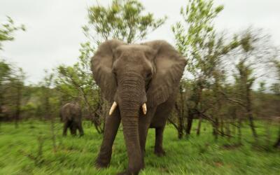 Un elefante africano en el parque Nacional Kruger de Sudáfrica.