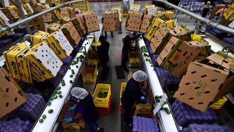 Un grupo de empleados empacan aguacates para la exportación en un...