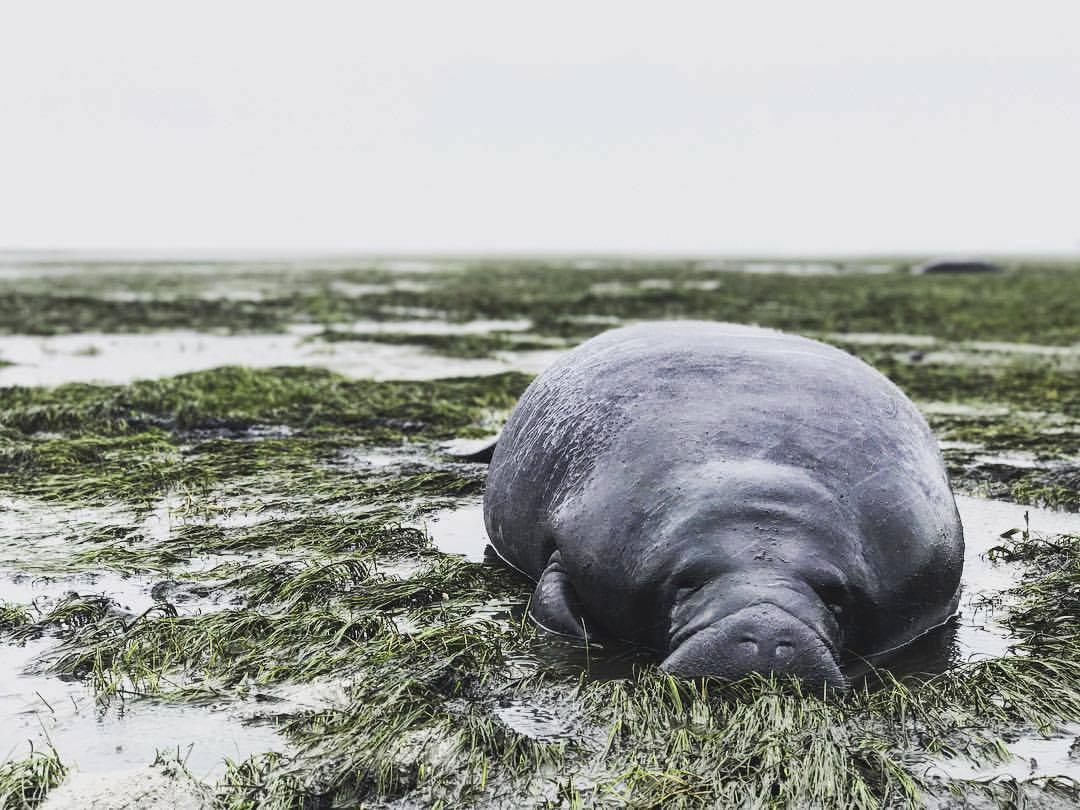 Un manatí varado en el condado de Manatee. El animal quedó encallado des...
