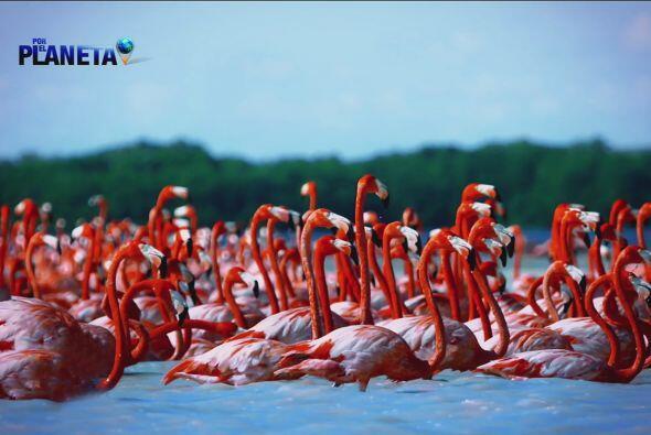 Los flamingos iluminan la tierra de la Península de Yucatán.