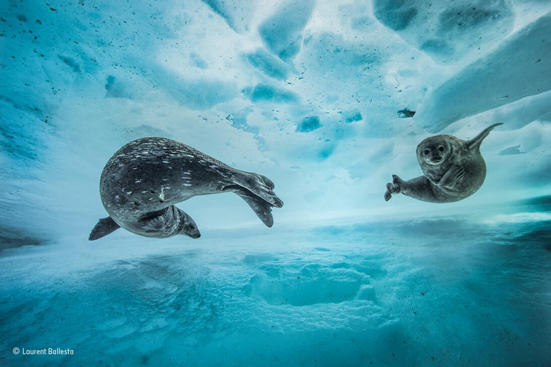Gimnasio de nado. Una foca mamá le enseña unos movimientos a su cría baj...