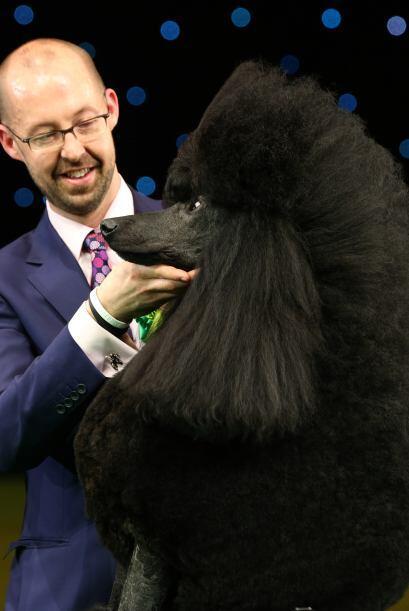 Este Poodle es lo máximo en cuanto a obediencia y habilidad se refiere.