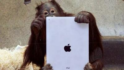 Los orangutanes del zoológico adoran jugar con una iPad.