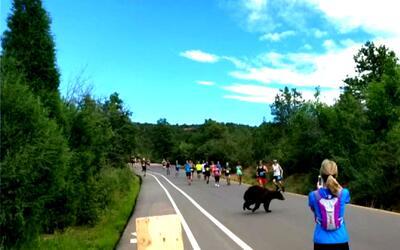 Un oso aparece en una competencia de atletismo y pasa cerca de los parti...