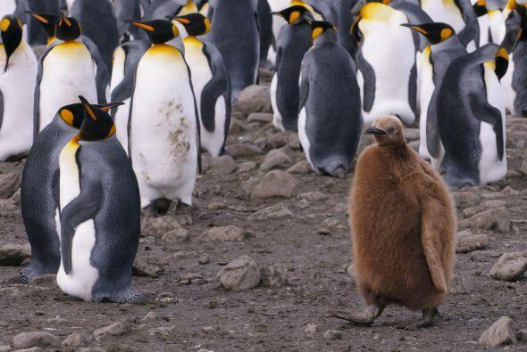 Este pequeño pingüino sobresale de entre todos los de su especie.