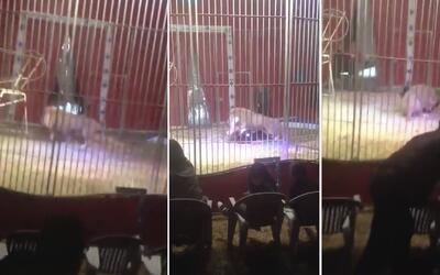 Un león ataca a su domador y lo arrastra en un show de circo en Francia