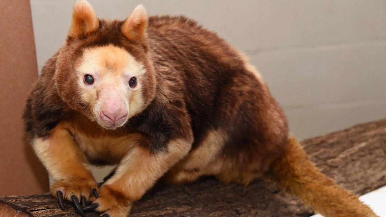 Muere el canguro arborícola de zoológico de Miami a sus 27 años