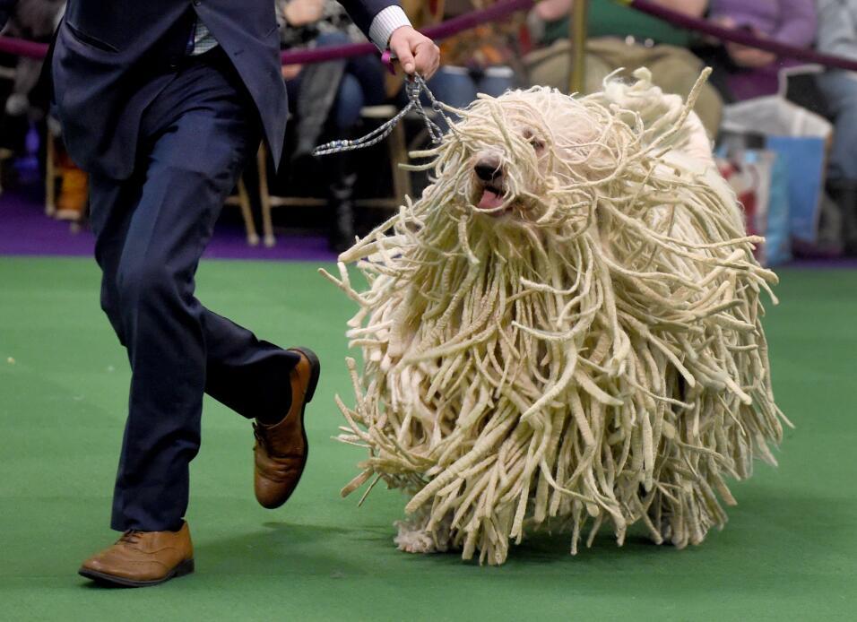 Un perro de raza Komondor salió en el 140th Annual Dog Show el 16 de feb...