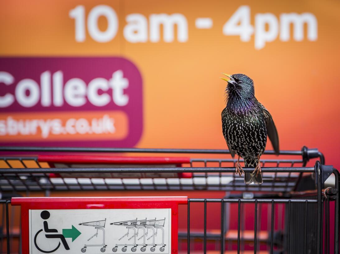 'El estornino del supermercado', fotografía tomada en Nottinghamshire, I...