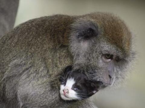 ¡Esta mona actúa como madre para un minino!