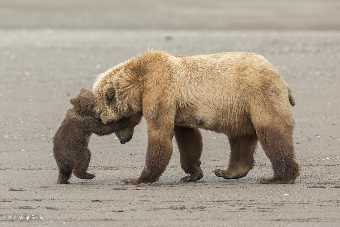 Abrazo de oso. Un osezno juega con su madre mientras ella guía a la fami...